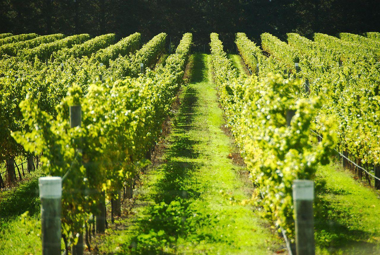vineyard_fields_france