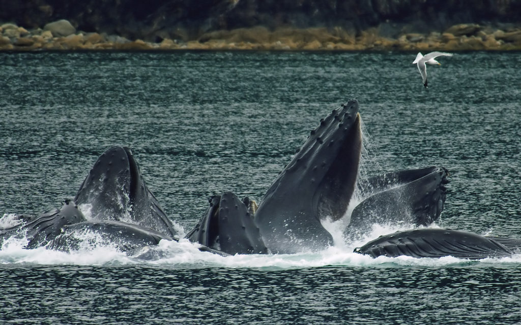 whales_bubble_net_feeding-edit1